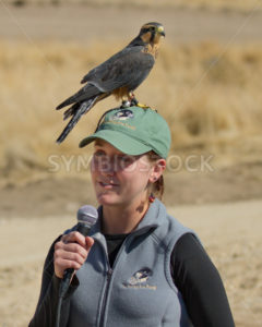BOISE, IDAHO - OCTOBER 7 : Aplomado Falcon lands on the head of a presenter at World Center for the Birds of Prey on October 7th, 2012. - Shot Your show