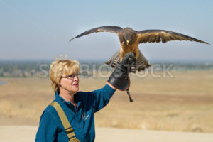 BOISE, IDAHO - OCTOBER 7 : Unidentified handler at World Center for the Birds of Prey holds a Swainson Hawk on October 7th, 2012. - Shot Your show