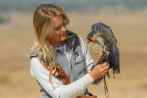 BOISE, IDAHO - OCTOBER 7 : Unidentified trainer at World Center for the Birds of Prey handles a peregrine falcon on October 7th, 2012. - Shot Your show