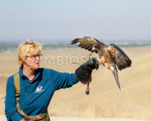 BOISE, IDAHO - OCTOBER 7 : Unidentified trainer at World Center for the Birds of Prey has a Swainson Hawk land on her glove on October 7th, 2012. - Shot Your show