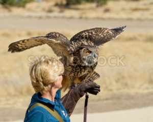 BOISE, IDAHO - OCTOBER 7 : Unidentified trainer at World Center for the Birds of Prey holds a Eurasian Eagle owl on October 7th, 2012. - Shot Your show