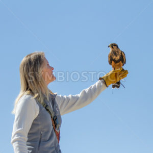 BOISE, IDAHO - OCTOBER 7 : Unidentified trainer at World Center for the Birds of Prey holds a peregrine falcon on October 7th, 2012. - Shot Your show