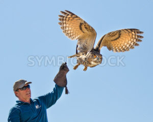 BOISE, IDAHO - OCTOBER 7 : Unidentified trainer at World Center for the Birds of Prey lets a a Eurasian Eagle owl go  on October 7th, 2012. - Shot Your show