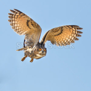 Eagle owl flying for a kill - Shot Your show